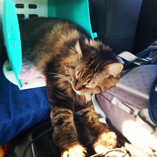 Best reason to bring a #cat on a #roadtrip?  It's just so adorable.