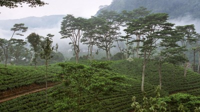 Pick Tea in Sri Lanka